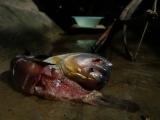 Een piranha met daarnaast het aas, een shuyo