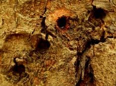 Boomstam met littekens veroorzaakt door aapjes die zo sap van de boom nuttigen