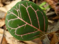 Kleurig blad van een zaailing op de bosbodem