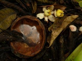 Vrucht en bloemen van de kanonballenboom (Couroupita sp, Fam. Lecythidaceae)