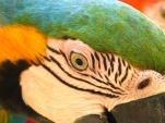 Guacamayo azulamarillo - papegaai (Ara ararauna)