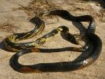 Een Cananguchero - een onschuldige slang die veel voorkomt in de Cananguchales