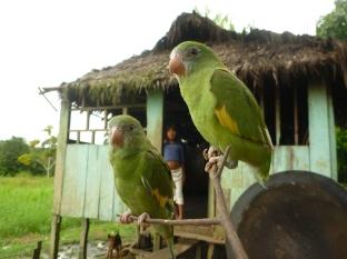 Een paartje onafscheidelijke pericos (Brotogeris sp.) in de gemeenschap Nuevo Paraíso